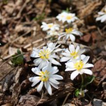 A Lovely Spring Ephemerals Walk