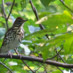The Song of the Wood Thrush