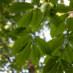 American Chestnuts in Glen Providence Park!
