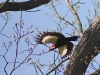 4/21 Pileated Woodpecker