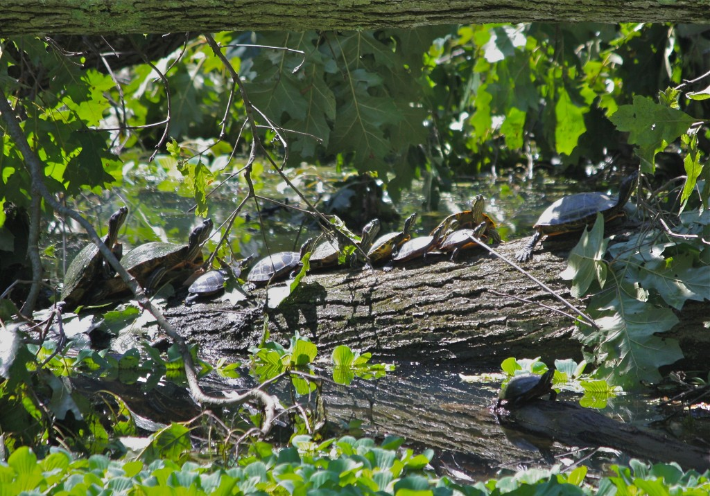 Turtles on fallen oak